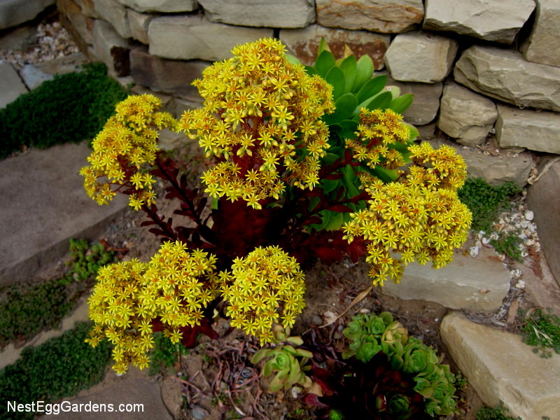 This Red Variety Aeonium Zwartkop Produces Lots Of Long Lasting Yellow Flowers
